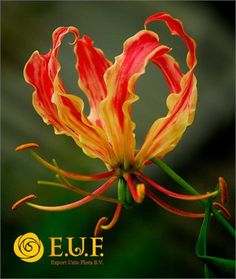 Gloriosa Kort , also in yellow and red