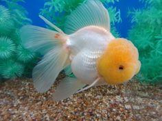 Oranda Goldfish, Goldfish Aquarium, Goldfish Tank, Tetra Fish, Fish Breeding, Golden Fish, Cool Fish, Ponds Backyard, Beautiful Fish