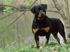 Draw Dogs Photographic Print: Rottweiler Dog in Woodland, USA by Lynn M. Rottweiler Breed, Rottweiler Love, Rottweiler Pictures, Big Teddy Bear, Bulldog Breeds, Pitbull Terrier, Training Your Dog, Dog Life, I Love Dogs