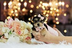 Teacup Puppies For Sale! www.teacuppuppiesstore.com 954-353-7864