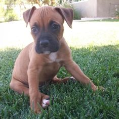 Boxcar is an adoptable Boxer Dog in Orange, CA. Boxcar is an 8 week old baby Boxer mix puppy - both mommy and daddy are about 50 pounds so full grown that is about his weight. He is very happy, playf...
