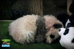 Le bébé panda du ZooParc de Beauval s'appelle… Yuan Meng