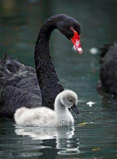 Reino animal, filo cordados, clase aves, orden anseriformes, género cisne negro (y cría)