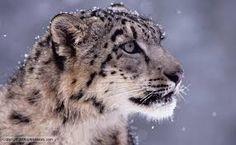 Resultado de imagem para SNOW LEOPARD