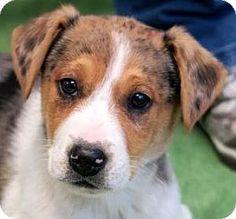 Wenatchee, WA - Irish Terrier/Catahoula Leopard Dog Mix. Meet Dean, a puppy for adoption. http://www.adoptapet.com/pet/14456263-wenatchee-washington-irish-terrier-mix