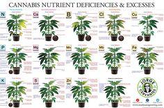 Yellowing then burnt tips - Plant Care - Growing Marijuana Forum by Robert Bergman's I Love Growing Marijuana
