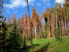 Udall, Denver Water, Forest Service back Vail biomass plant to DOE - The Colorado Independent Bark Beetle, Pine Beetle, Biomass Power Plant, Timber Companies, Forest Ecosystem, Conifer Trees, Sustainable Forestry, Forest Stewardship Council, Forest Service