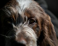 Italian Spinone-such character in their faces.