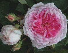 Blairii No. 2 (Palatine Roses)