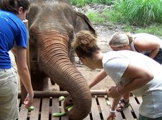 Care for endangered elephants in Thailand, save them! Endangered Elephants, Thailand Elephants, Volunteer Programs, All Over The World, Conservation, The Incredibles, Adventure, Places, Travel