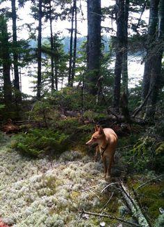 Carolina dog / American dingo in the woods