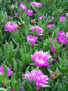 Carpobrotus rossii, commonly known as karkalla or pig face, is a succulent coastal groundcover plant native to southern Australia. Karkalla leaves are succulent, cm long and 1 cm wide, and curved or rarely straight Australian Native Garden, Australian Native Flowers, Australian Plants, Coastal Gardens, Beach Gardens, Planting Succulents, Garden Plants, Succulent Plants, Flowering Creepers