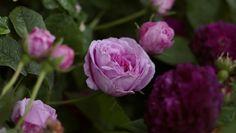 'Belle sans Flaterie' ir 'Orpheline de Juliet'