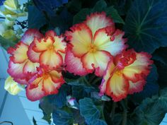 Papa's Begonias