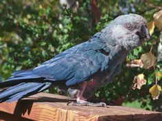 Presley, the Spix's Macaw Who Was Among Last of Its Kind, Said to Have Inspired 'Rio,' Dies.