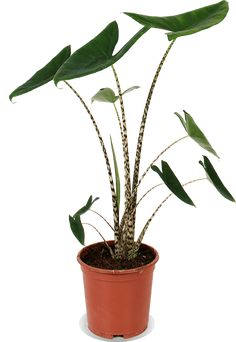 Garden Plants, Indoor Plants, House Plants, Inside Garden, Home And Garden, Alocasia Plant, Elephant Ear Plant, Tropical Plants, Ikebana