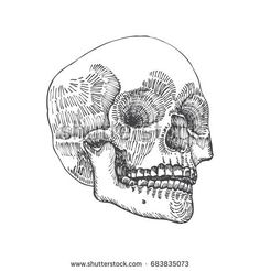 Anatomic skull, weathered and museum quality, detailed hand drawn illustration. Raster.