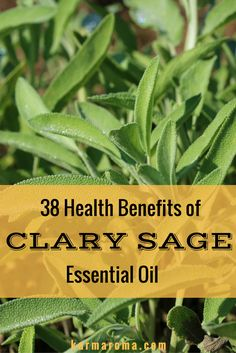 Clary sage is known for being among the tallest perennial herbs topping out at around six feet tall. People have used clary sage for centuries for its healing properties. Discover 38 amazing health benefits of Clary Sage Essential Oil.