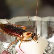 Baking soda and sugar is a tried-and-tested natural way to kill roaches. The pests are attracted to the smell of the sugar, while the baking soda ensures they won't survive.