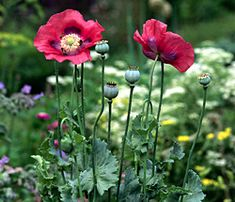 34 best opium poppies images on pinterest poppies poppy and poppy opium poppies google search purple poppies poppy flowers wild flowers opium plant mightylinksfo