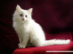 Beautiful White Persian Kitten