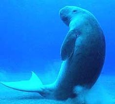 Facts On Dugong