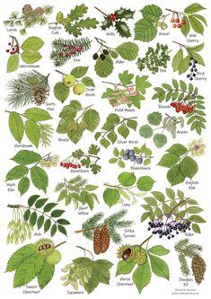 Tree Leaves, Plant Leaves, Trees And Shrubs, Trees To Plant, Tree Leaf Identification, Tree Study, Nature Posters, Plant Science, Tree Art
