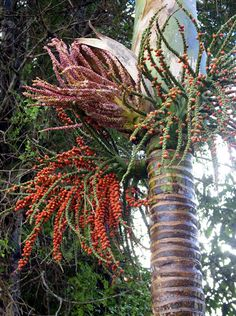 Pachycaul pak-e-kol adj.  (Gr. pachy: thick; caulus: stem)  Thick stemmed, as palms and some Cordylinewith stems unbranched and succulent.      Rhopalostylis sapida  nikau palm  Arecaceae    Photo shows stem of Nikau with leaf scars, flowers and fruit.