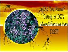 MYO Mosquito Repellent: Did you know that Studies have proven that Catnip Repels Mosquitoes More Effectively Than DEET?! Click on photo for easy recipe