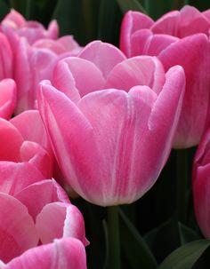 Tulip 'Boma'