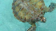 Green Sea Turtles At Little Farmer's Cay Wooden Owl, Sea Turtles, Sailboat, Farmers, Owls, Sailing, Green, Blog, Animals
