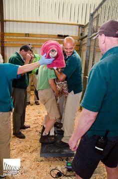 Log into your Woodland Park Zoo donor account Woodland Park Zoo, Giraffe, Seattle, Calves, Fans, Live, Animals, Felt Giraffe, Animales