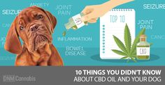Holistic vets have been sending us some interesting reports about the benefits of CBD oil for dogs in their care … A senior Staffordshire Terrier had a 6cm mammary tumor and metastasis that…