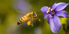Avaaz - Before honey bees are extinct  #NorgeMotGMO #underskriftskampanje #CCD #colonycollapsedisorder