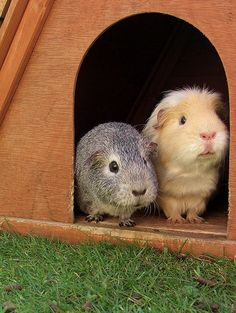 The grey one looks just like my first guinea pig as a child, silky. Animals And Pets, Baby Animals, Cute Animals, Hamsters, Guinie Pig, Baby Guinea Pigs, Cute Piggies, Little Critter, Little Pets