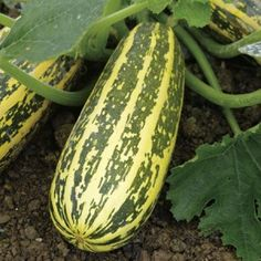 The humble marrow. Small it's a zucchini, and one of my favourite veggies to play around with in salads, soups, parmigiana's and just lightly toasted. Let it grow and you get a monster marrow. And what a versatile veggie!