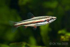 dwarf pencilfish, .9 in