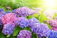 Hydrangea Blooms by Laura Bassen