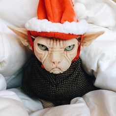 New Funny Christmas Pictures Animals Guys Ideas Funny Animal Pictures, Cute Funny Animals, Funny Cute, I Love Cats, Crazy Cats, Cool Cats, Christmas Cats, Christmas Humor, Gatos Cool