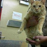 Pictures of URGENT on 2/2 at DEVORE a Domestic Mediumhair for adoption in San Bernardino, CA who needs a loving home.