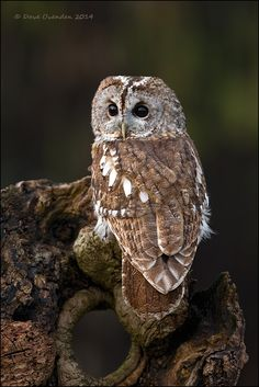 Tawny owl by Dave Ovenden Nocturne, Strix Aluco, Owl Pictures, Owl Photos, Butterfly Pictures, Saw Whet Owl, Nocturnal Birds, Tawny Owl, Wood Owls