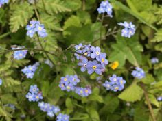 Wood Forget-Me-Not, Wotton-under-Edge, April