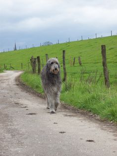 Deerhound Fanny