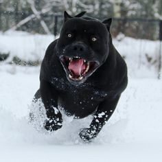 """I think this dog is beautiful, I choose love above fear, and wish I could go backwards in time and give her an easy happy life. Hugs, Jacqui of JacquiandScott. """"Na obrázku může být: pes a venku"""" Black Pitbull, Big Pitbull, Big Dog Breeds, Scary Dogs, Cane Corso Dog, Huge Dogs, Bully Dog, Pitbull Terrier, Bull Terriers"""