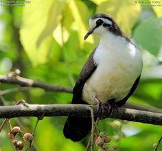 Tambourine Dove (Turtur tympanistria) Africa