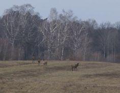 Wiosna w pełni, jelenie pasą się nieopodal naszego pensjonatu, a my czekamy na weekendowych gości :)  www.tymawa.pl