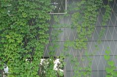 Cable Trellis /The perfect Green Wall Solution