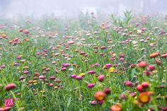 Straw flowers in Phu Hin Rongkla National Park, Phitsanulok