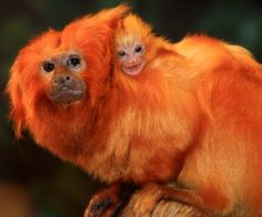 "Meet the ""Mico Leao Dourado"" of Brazil [Golden Lion Tamarin (or Monkey)]. This loving and rare animal can only be found in few places in Brazil."