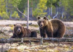 Female and male bear together Photograph by Arsi Ikonen -- National Geographic Your Shot
